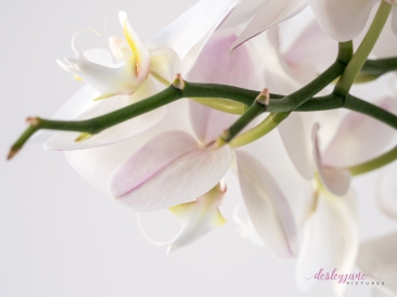 WhiteOrchid-2