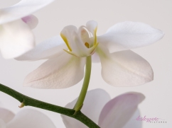 WhiteOrchid-3