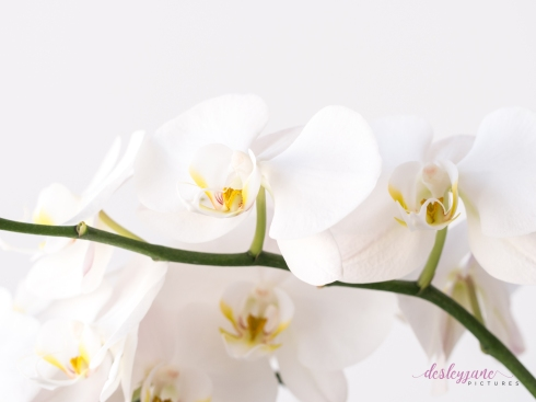 WhiteOrchid-4