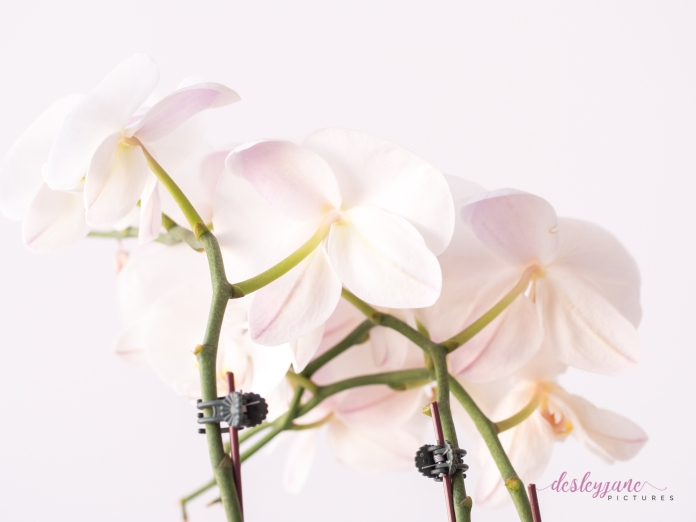 WhiteOrchid-8