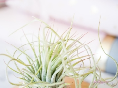 AirPlant-5