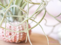 AirPlant-8