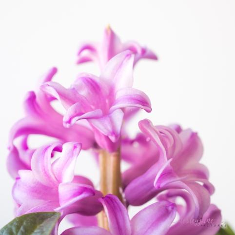 PurplePosey-16