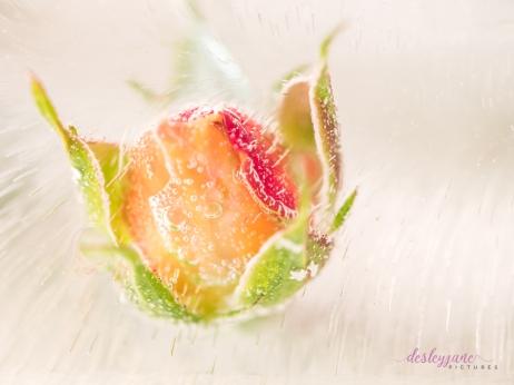 Rose_1-10