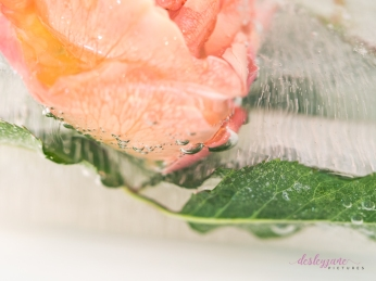 Rose_1-17