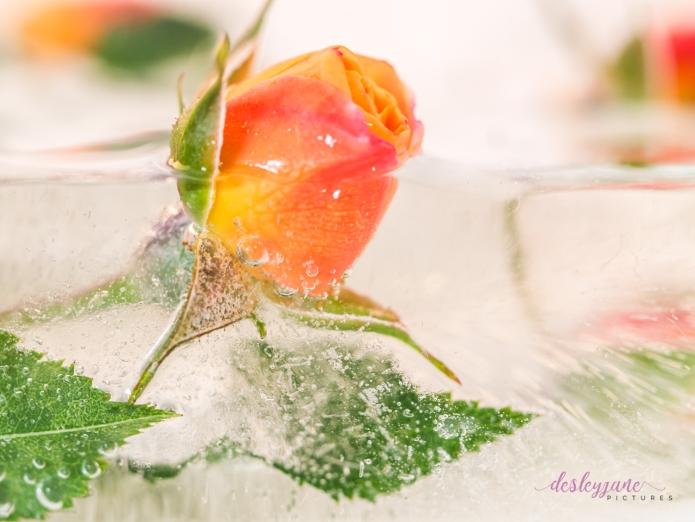 Rose_1-18