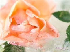 Rose_1-5