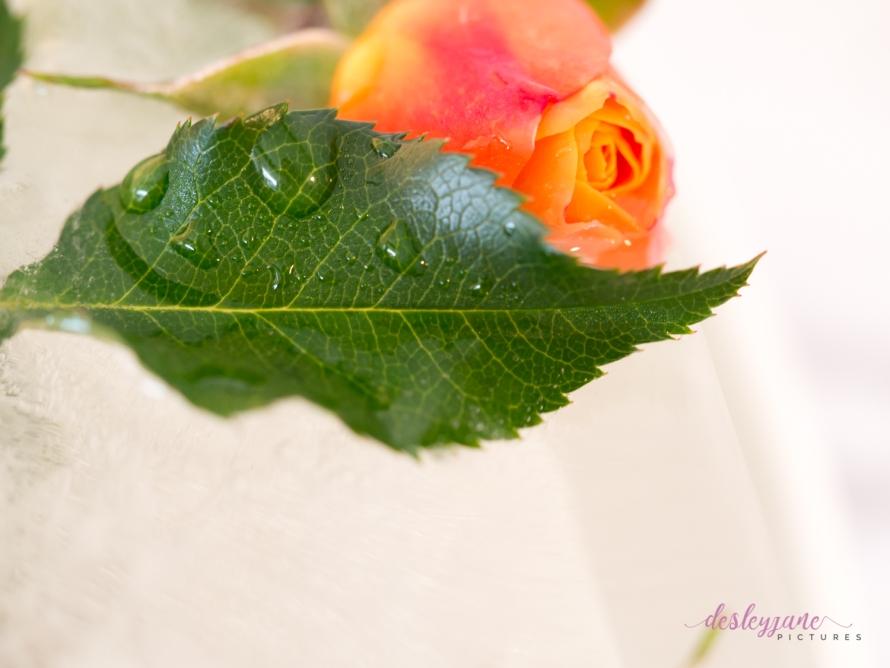 Rose_1-7