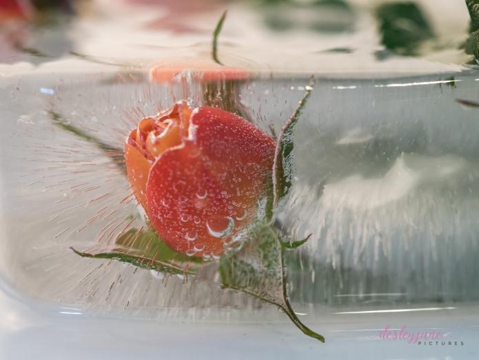 Rose_2-1