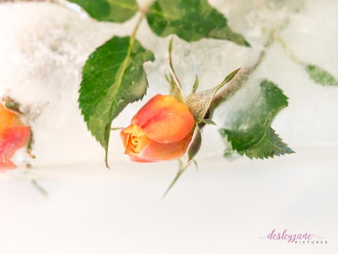 Rose_3-2