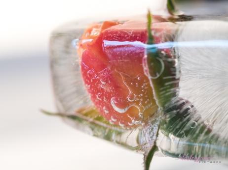 Rose_5-3
