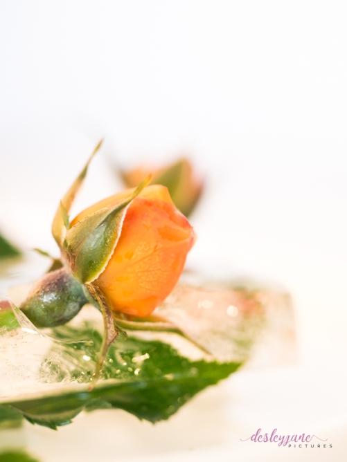 Rose_7-4