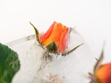 Rose_7-6