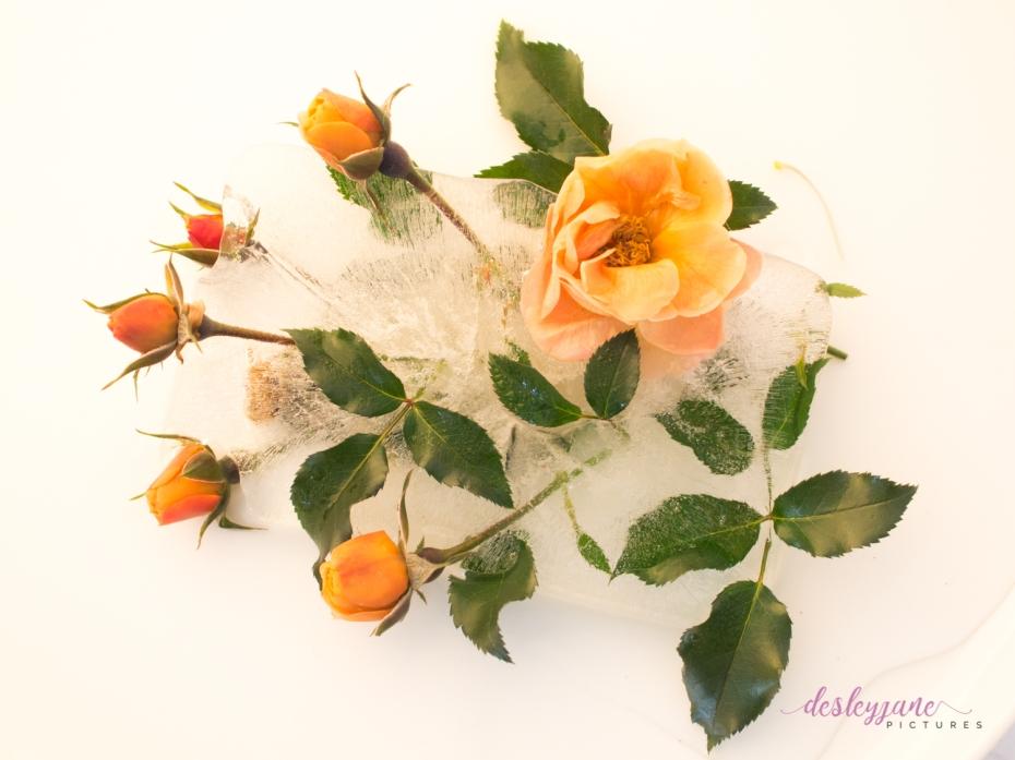 Rose_8-8