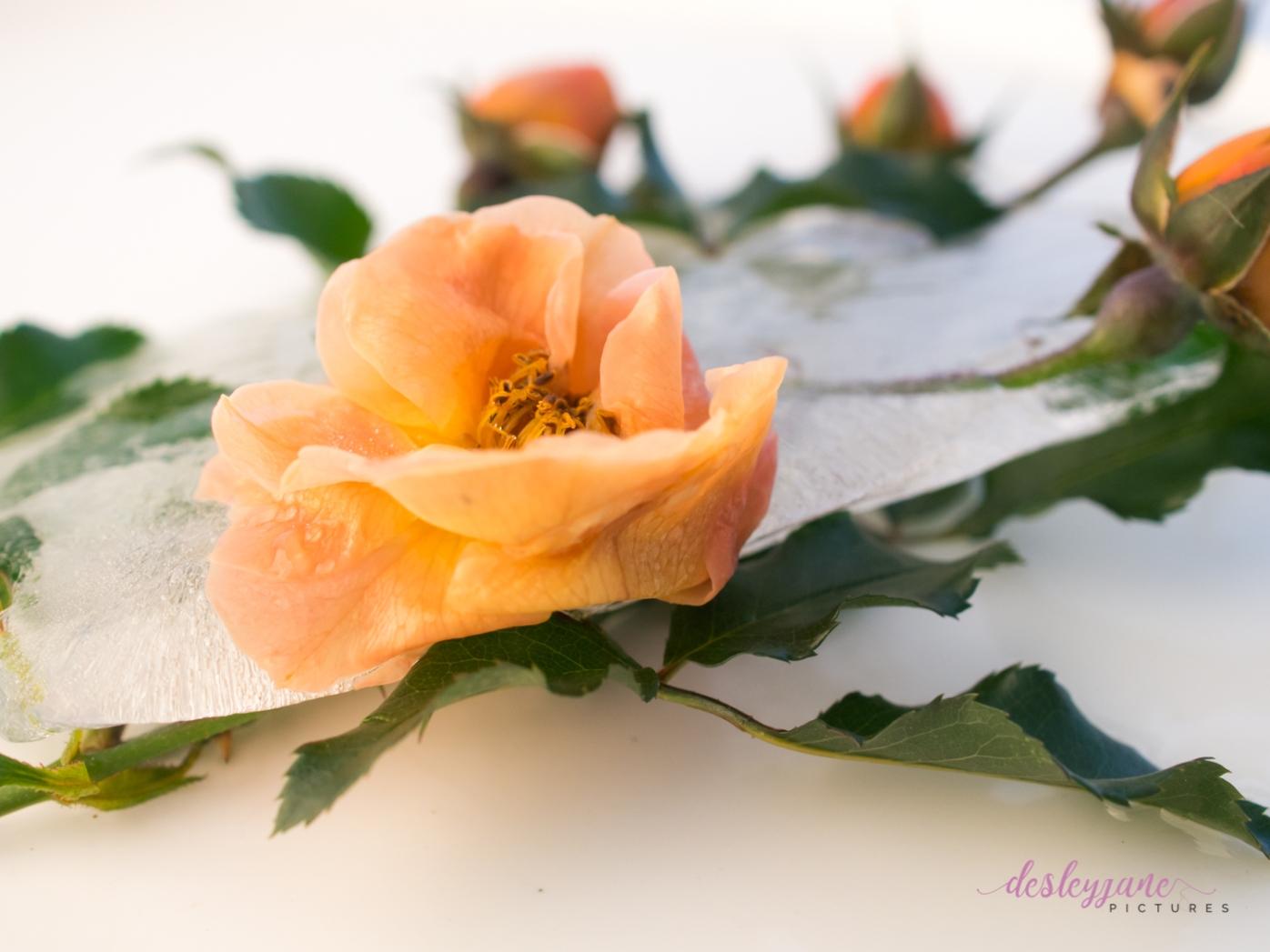 Rose_9-10