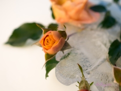Rose_9-6