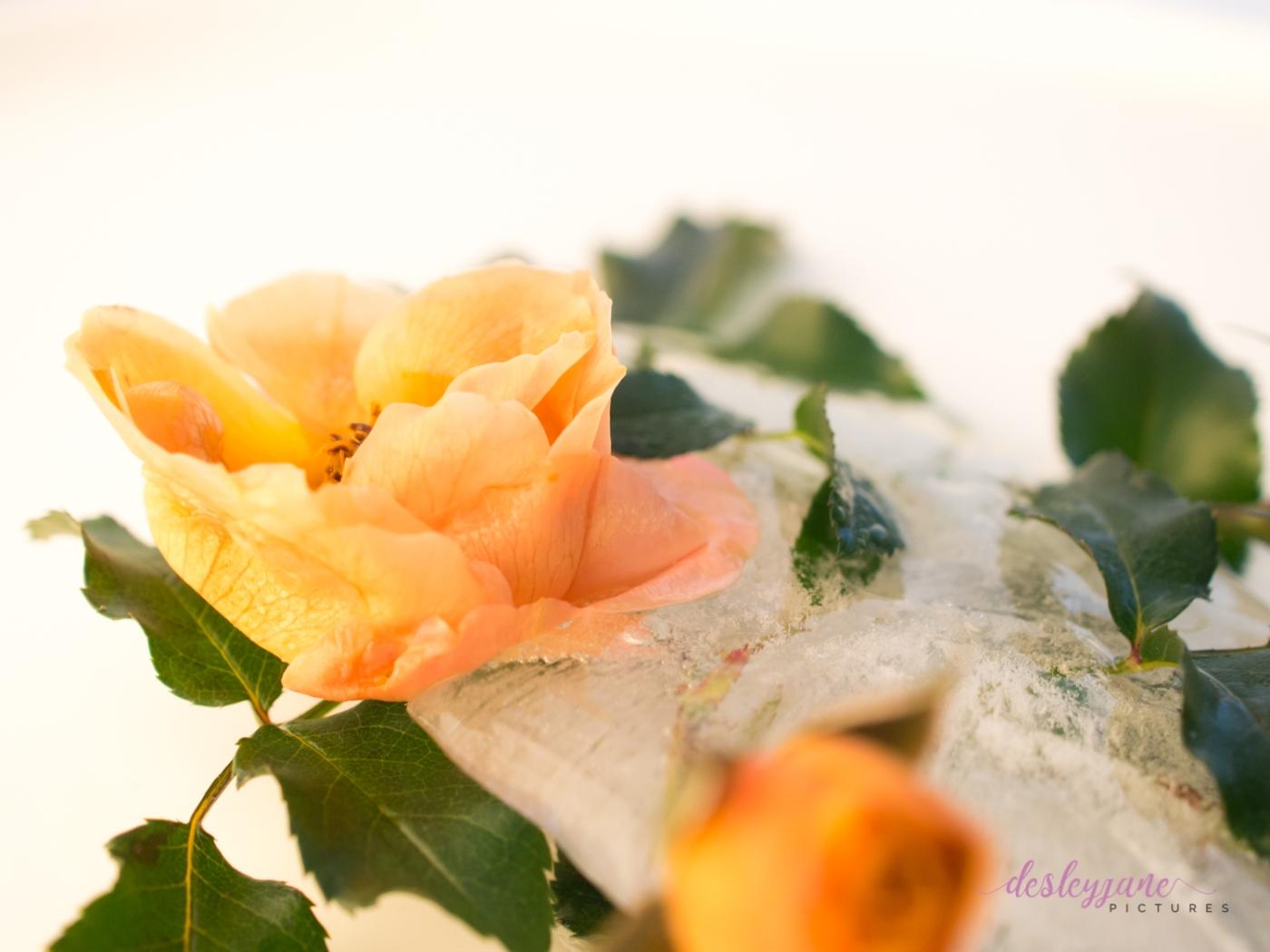 Rose_9-9