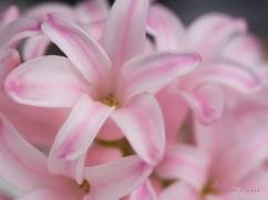 Hyacinths-19