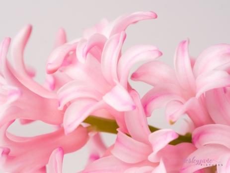Hyacinths-20