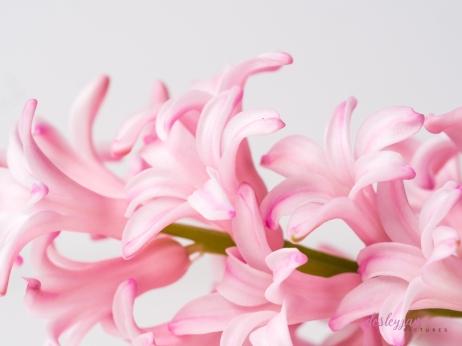 Hyacinths-23