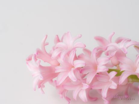 Hyacinths-24