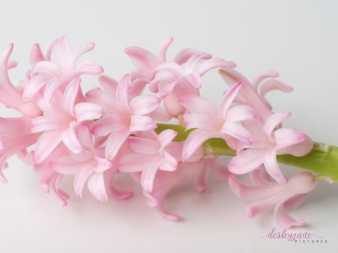 Hyacinths-25