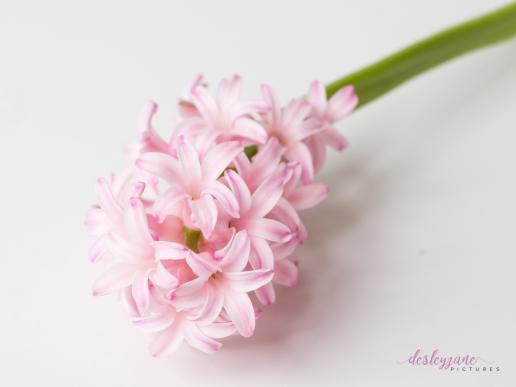Hyacinths-26