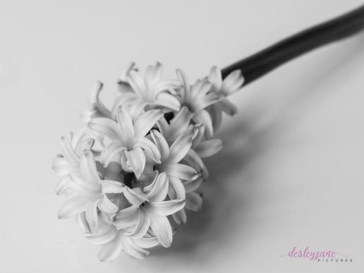 Hyacinths-27
