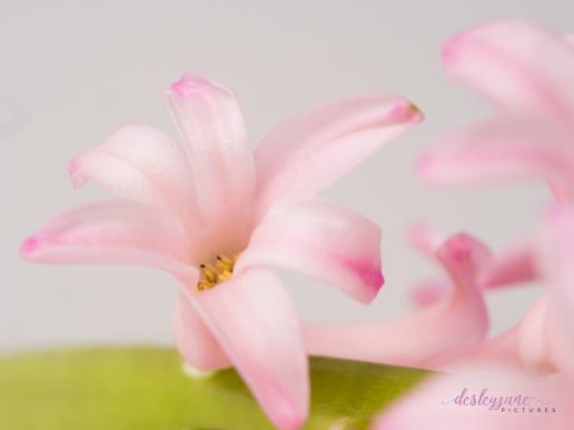 Hyacinths-28
