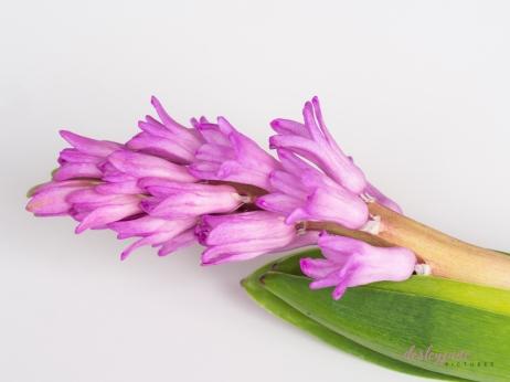 Hyacinths-37