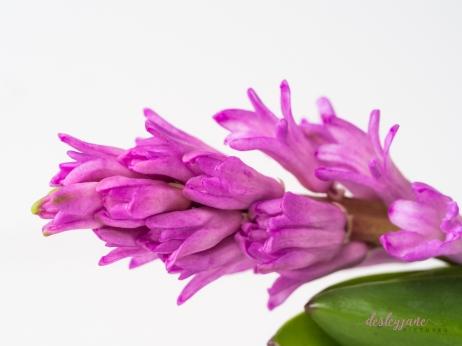 Hyacinths-38