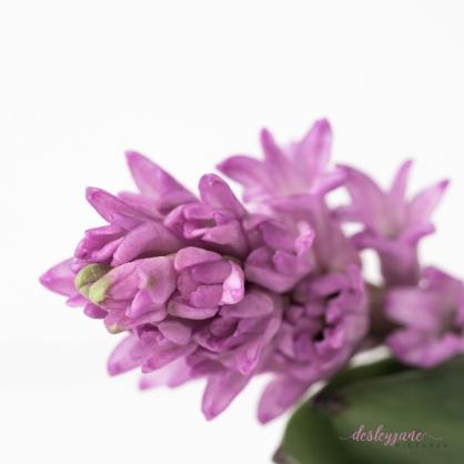 Hyacinths-39