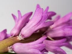 Hyacinths-42