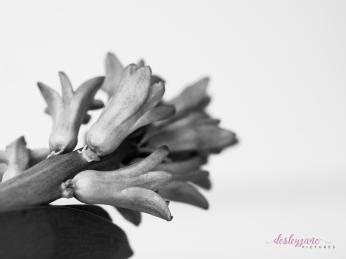 Hyacinths-43