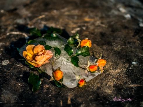 Rose_8-1