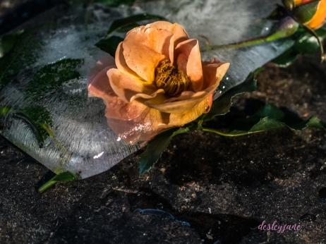 Rose_8-3