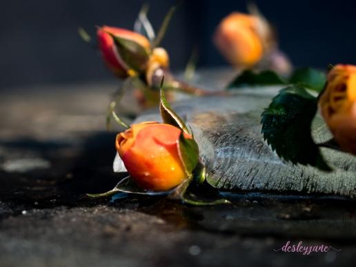 Rose_8-5