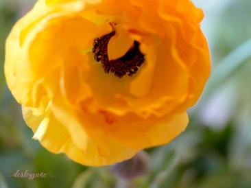 Poppies-33
