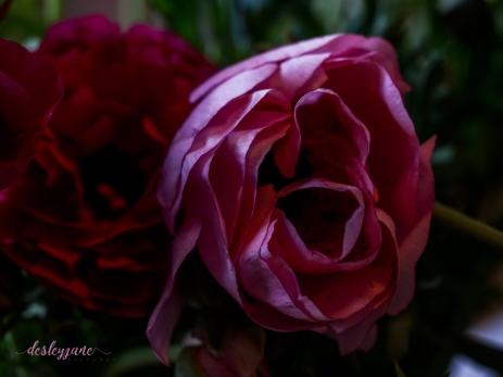 Poppies-41