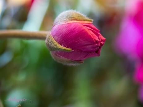 Poppies-43