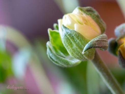 Poppies-46