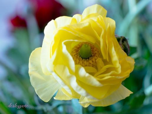 Poppies-48