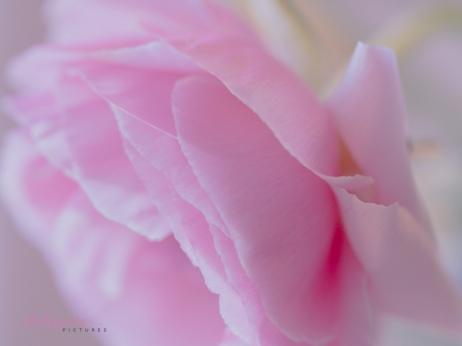 Poppies-51