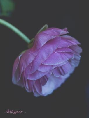 Poppies-61