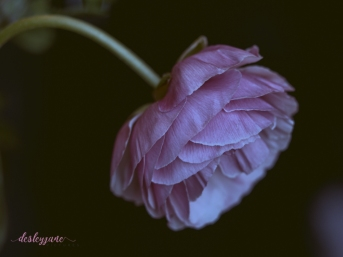Poppies-62