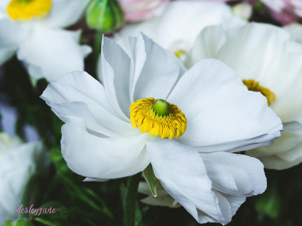 Poppies2-30