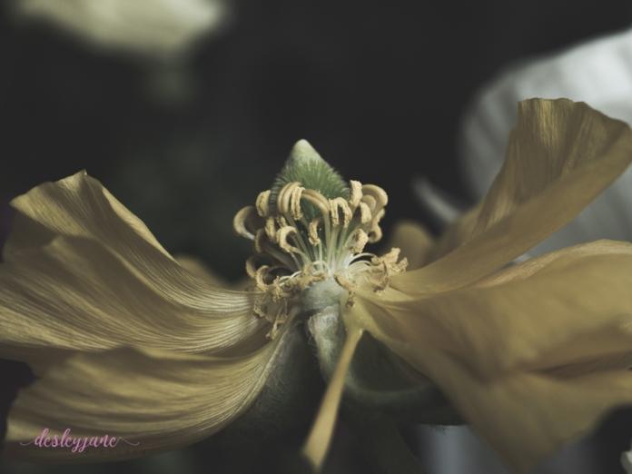 Poppies3-10
