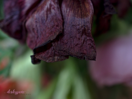 Poppies3-21