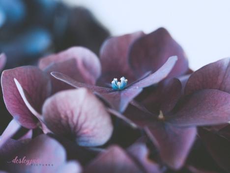 hydrangea-15