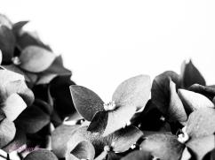 hydrangea-5
